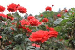 天に向かって咲くバラ: EOS Kiss X3: 1/125sec F4.0 ISO100 28mm EF-S18-55mm