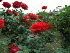 天に向かって咲くバラ: SH-01A: 1/169 F2.8