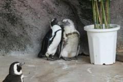 上野動物園: ケープペンギン: EOS Kiss X3: プログラムAE 1/80sec F5.6 中央部重点平均測光 ISO200 250mm EF-S55-250mm