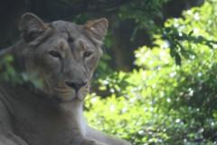 上野動物園: チーター: EOS Kiss X3: 1/320sec F5.6 中央部重点平均測光 ISO800 232mm EF-S55-250mm