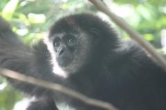 上野動物園: テナガザル: EOS Kiss X3: 1/80sec F5.6 中央部重点平均測光 ISO1600 179mm EF-S55-250mm