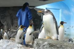 鴨川シーワールド: ペンギン室: 絞り優先AE 1/80sec F8.0 評価測光 EV+0 ISO1600 55mm EF-S55-250mm WB:オート AF:ワンショット AF PS:スタンダード