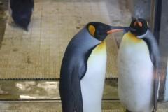 上野動物園: コウテイペンギン: ガラスケースの中: プログラムAE 1/15sec F4.0 評価測光 EV+0 ISO200 55mm EF-S55-250mm WB:オート AF:AI フォーカス AF PS:スタンダード