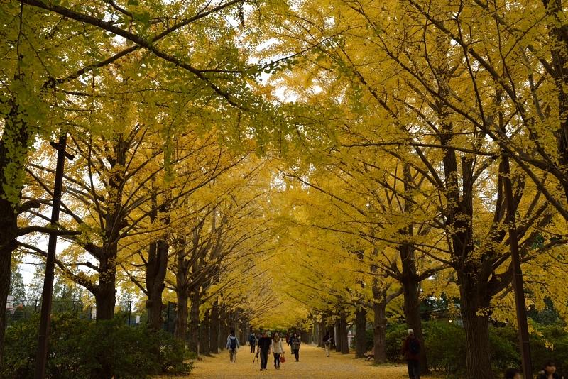 昭和記念公園: 並木道: D800: 24-70mm f/2.8G, 36mm F8 1/25sec EV0 ISO100 WB晴天