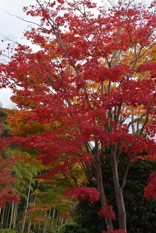 昭和記念公園: 紅葉と竹: D800: 24-70mm f/2.8G, 70mm F8 1/200sec EV-1.0 ISO1600 WB晴天
