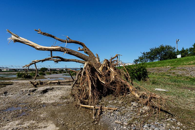 台風19号: 多摩川: 曲がった樹木